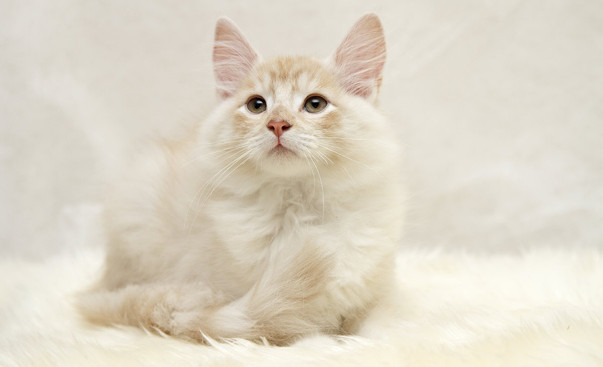 white cat breeds - norwegian forest cat