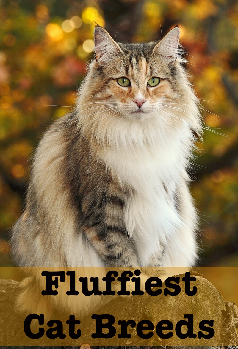 Fluffiest Cat Breed - Norwegian Forest Cat