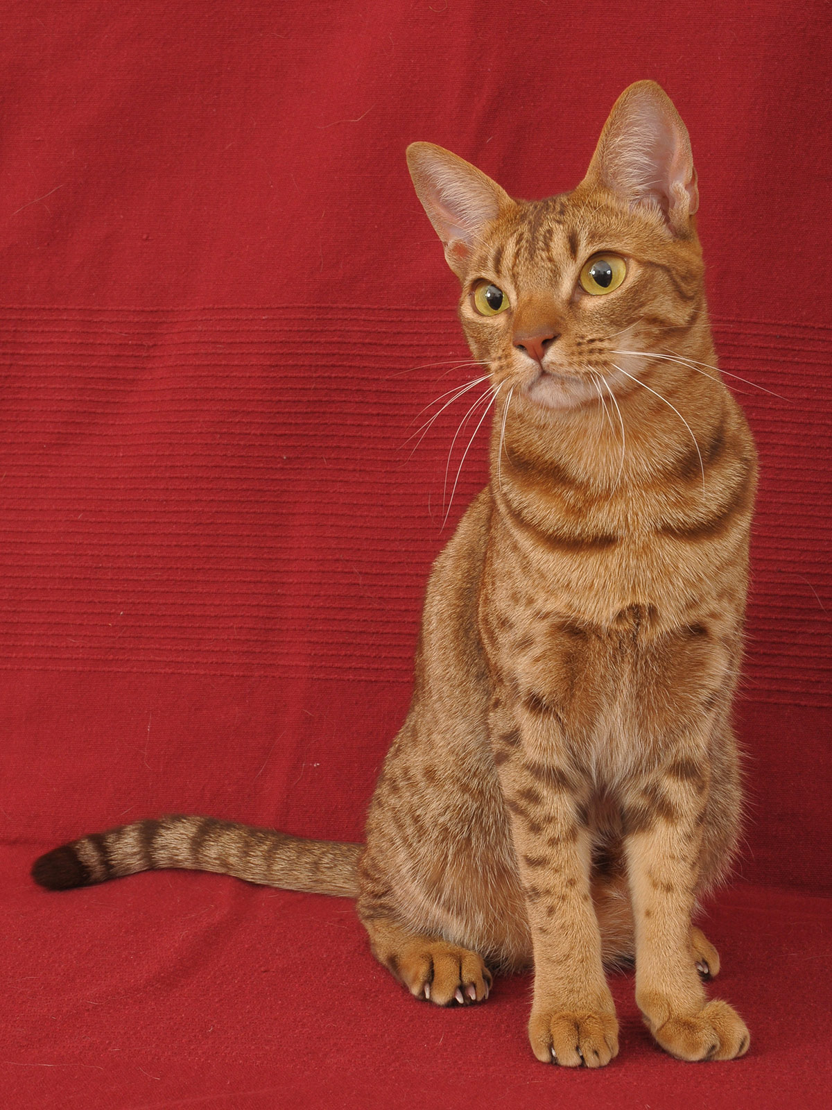 ocicat colors