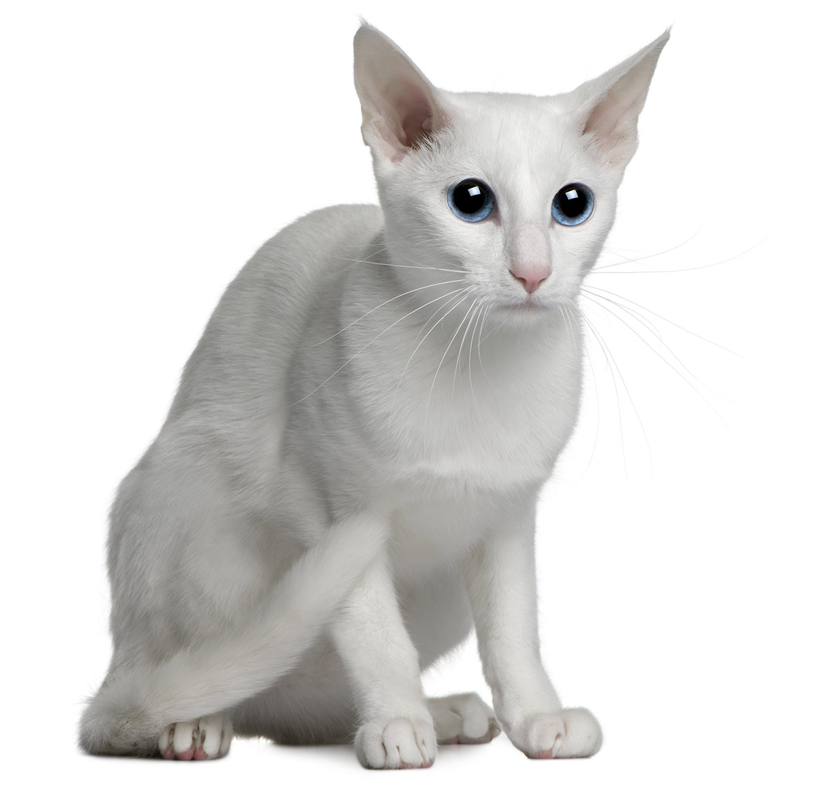 white cat breeds - oriental foreign white