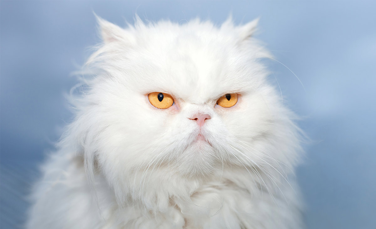 white cat breeds - persian