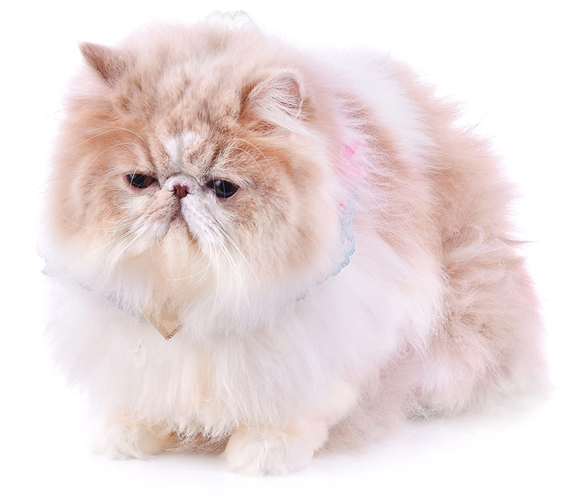 Fluffiest Cat Breed - Persian
