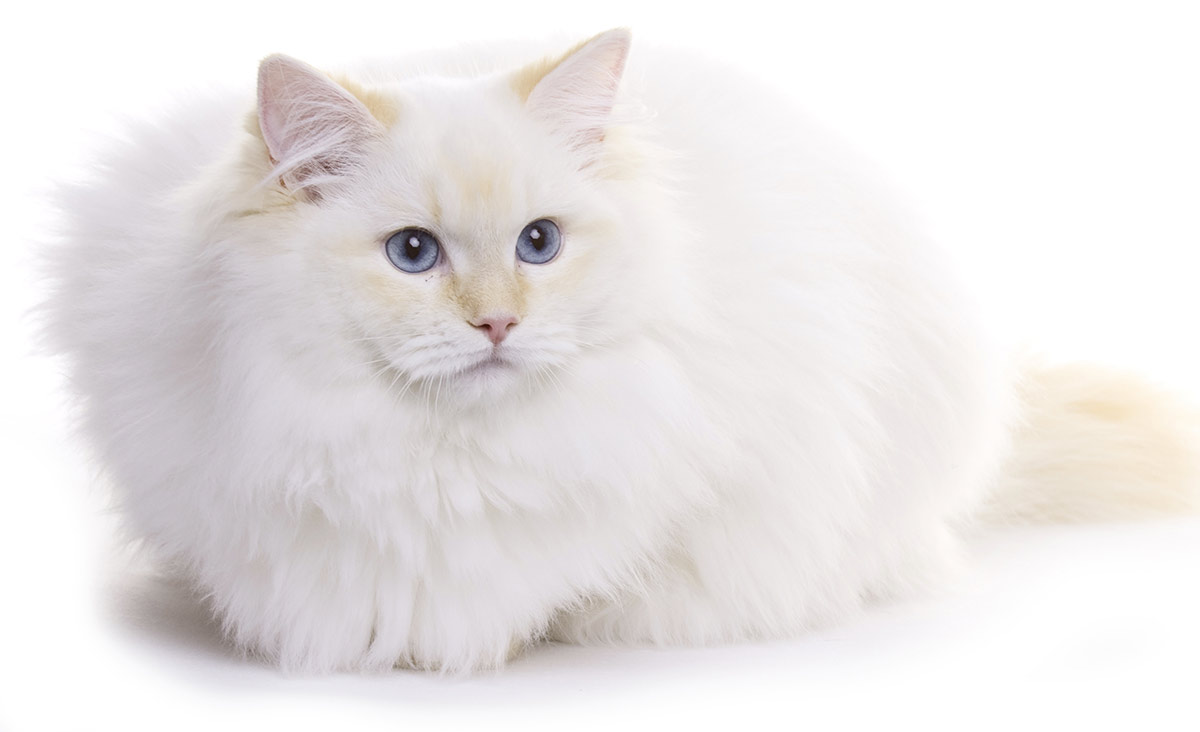 white cat breeds - ragdoll
