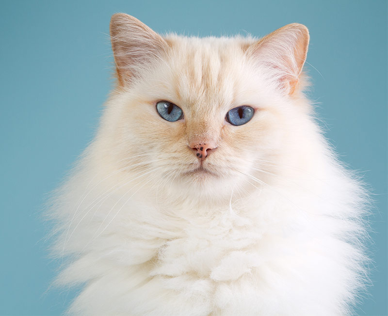 Fluffiest Cat Breed - Ragdoll