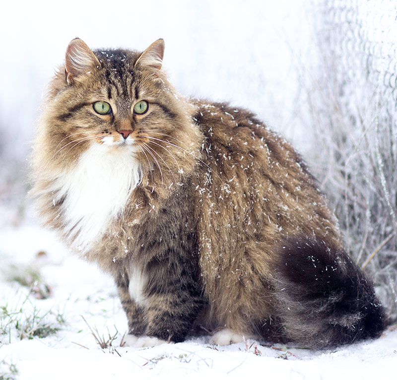 Fluffiest Cat Breed - Siberian Cat