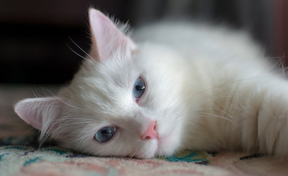 white cat breeds - turkish angora