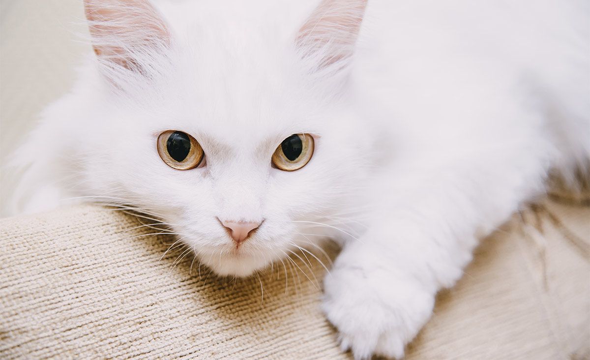 white cat breeds - turkish van