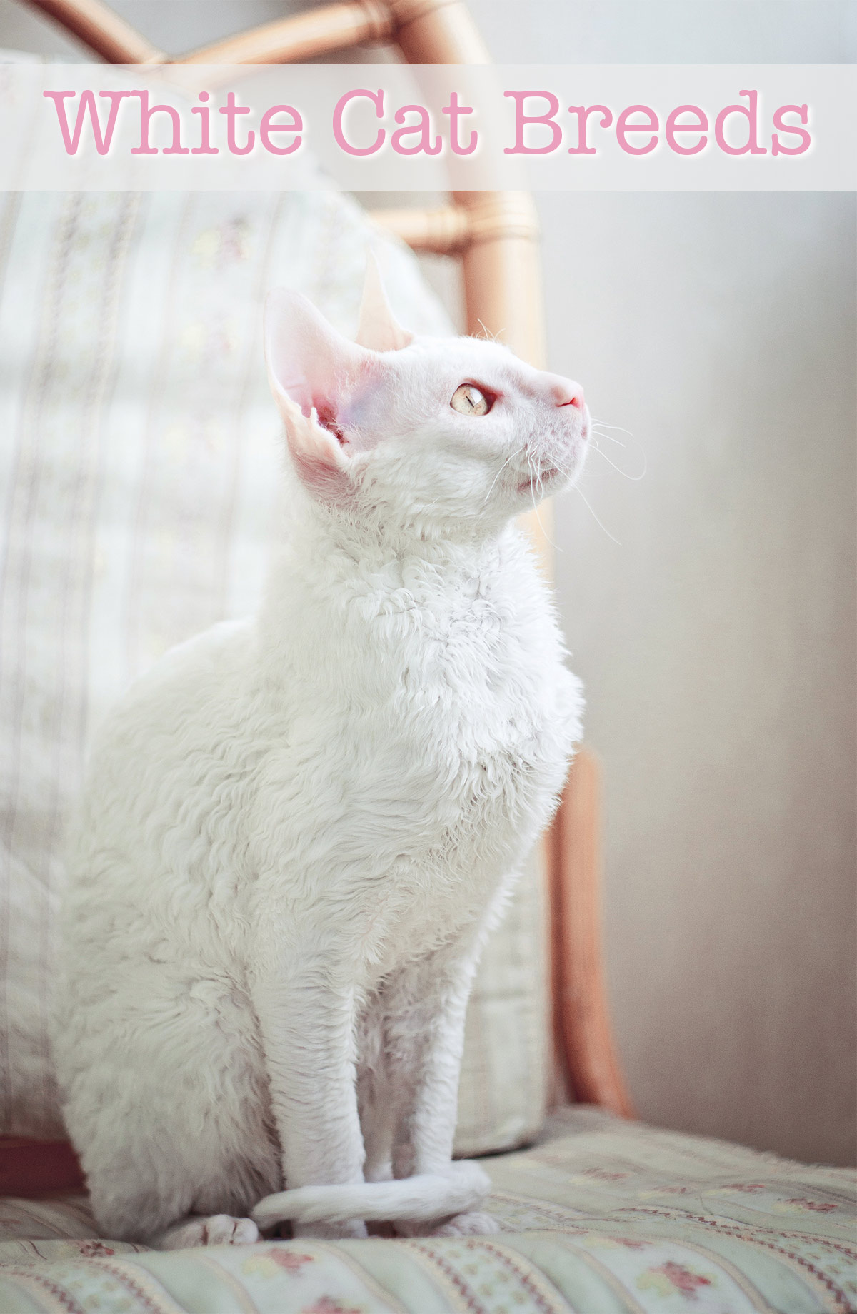 white cat breeds