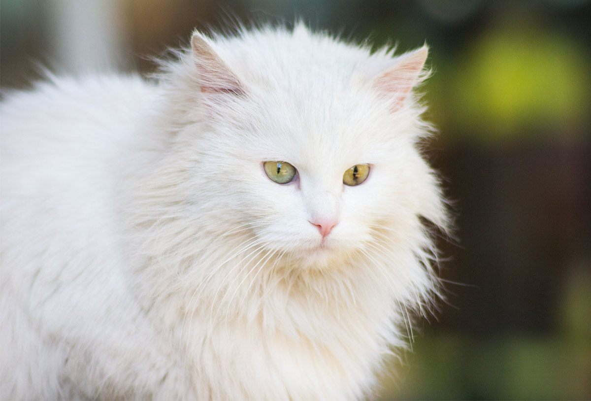 white cat facts