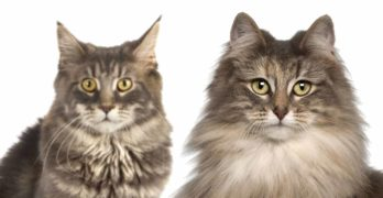 maine coon vs norwegian forest cat
