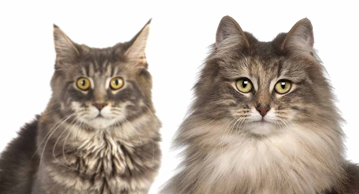 Norwegian Forest Cat by thevetscare.com