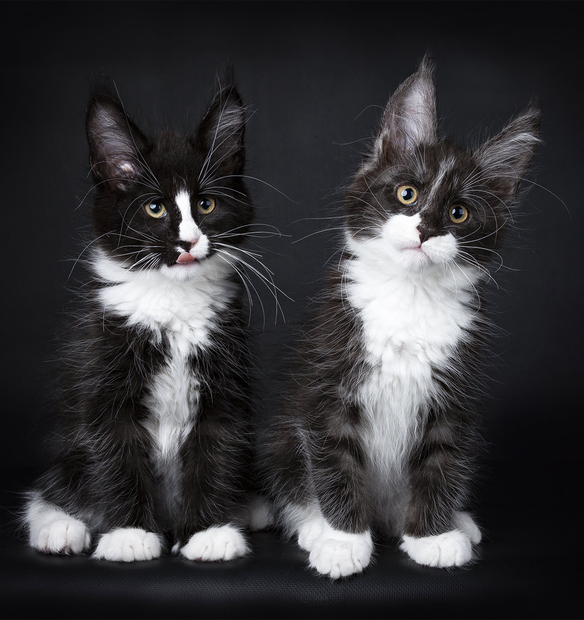 black and white Maine Coon cat pictures