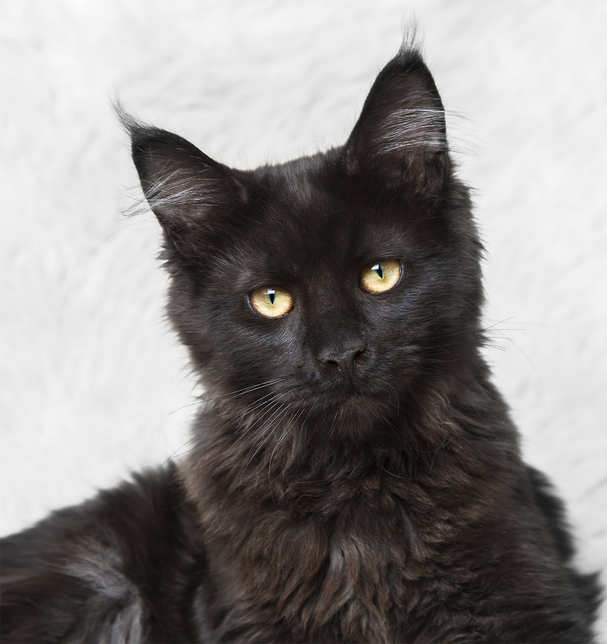 Black Maine Coon photos