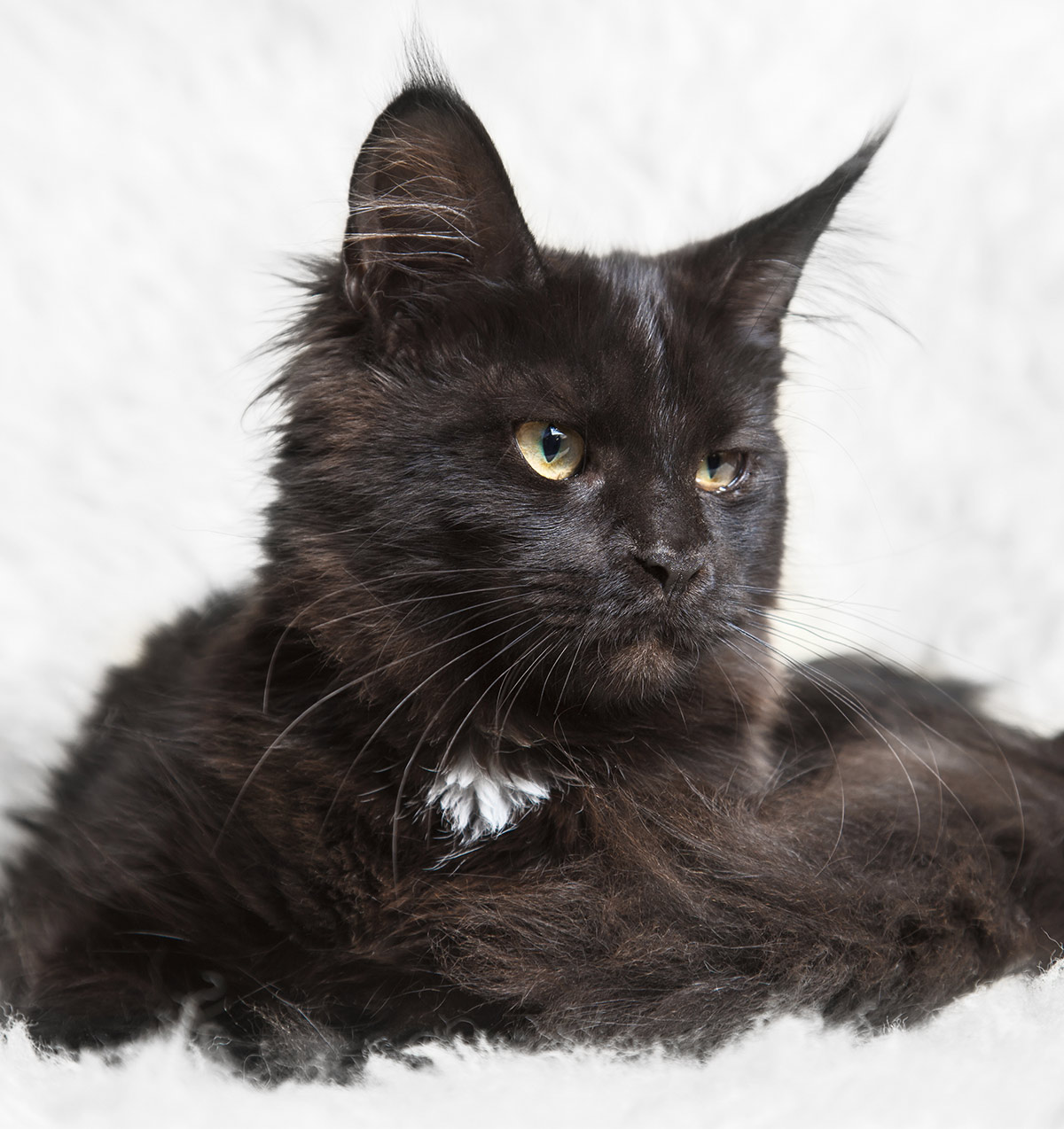 Pictures of black Maine Coon cats