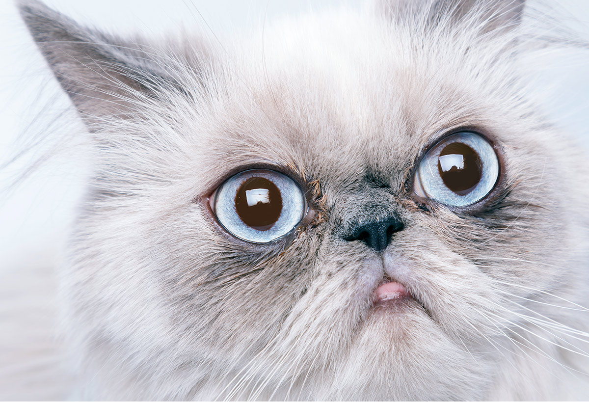 flat faced cats - brachycephalic cats
