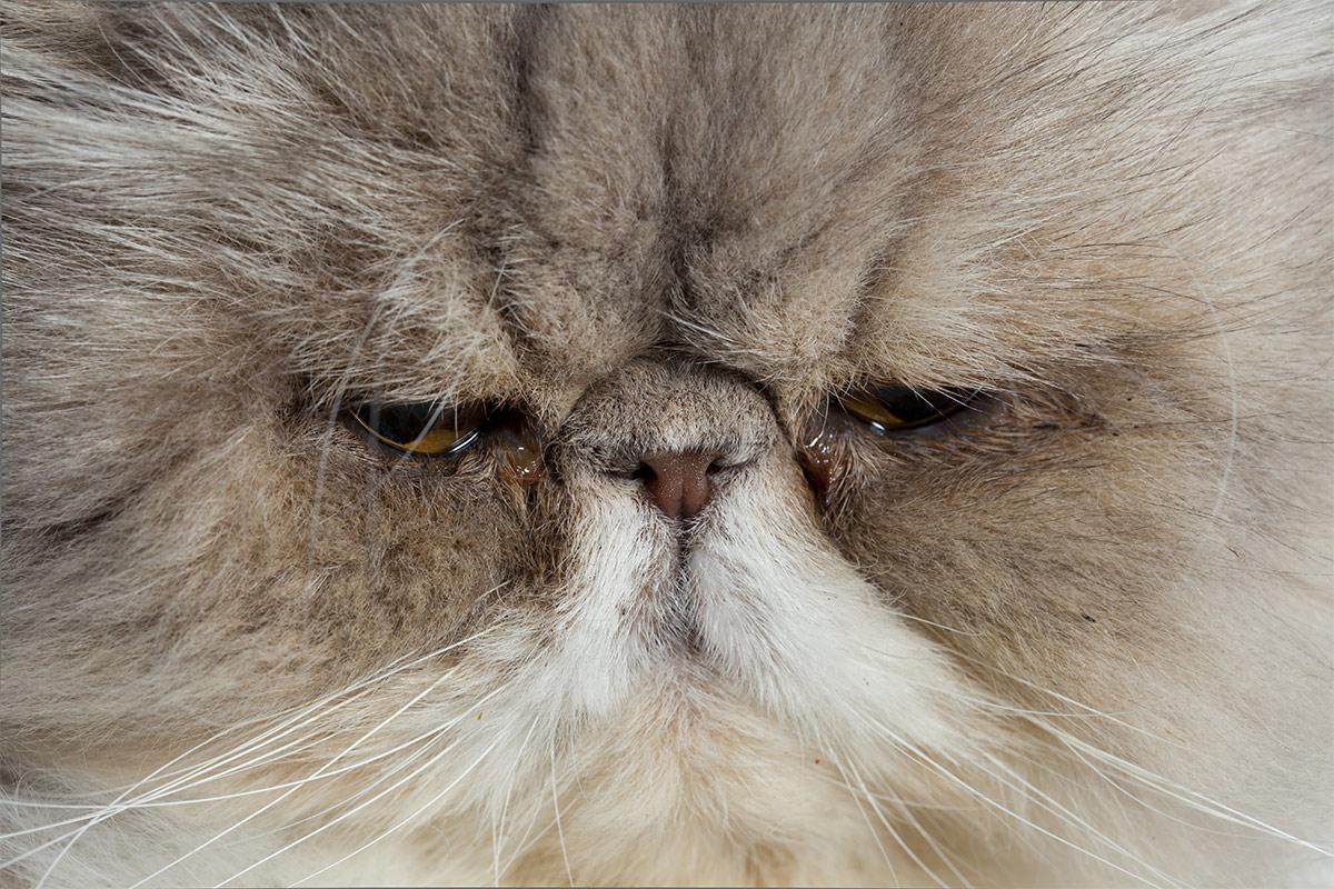 flat faced cat breeds - brachycephalic cats