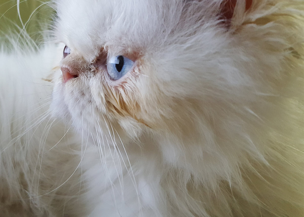 flat faced cats tears