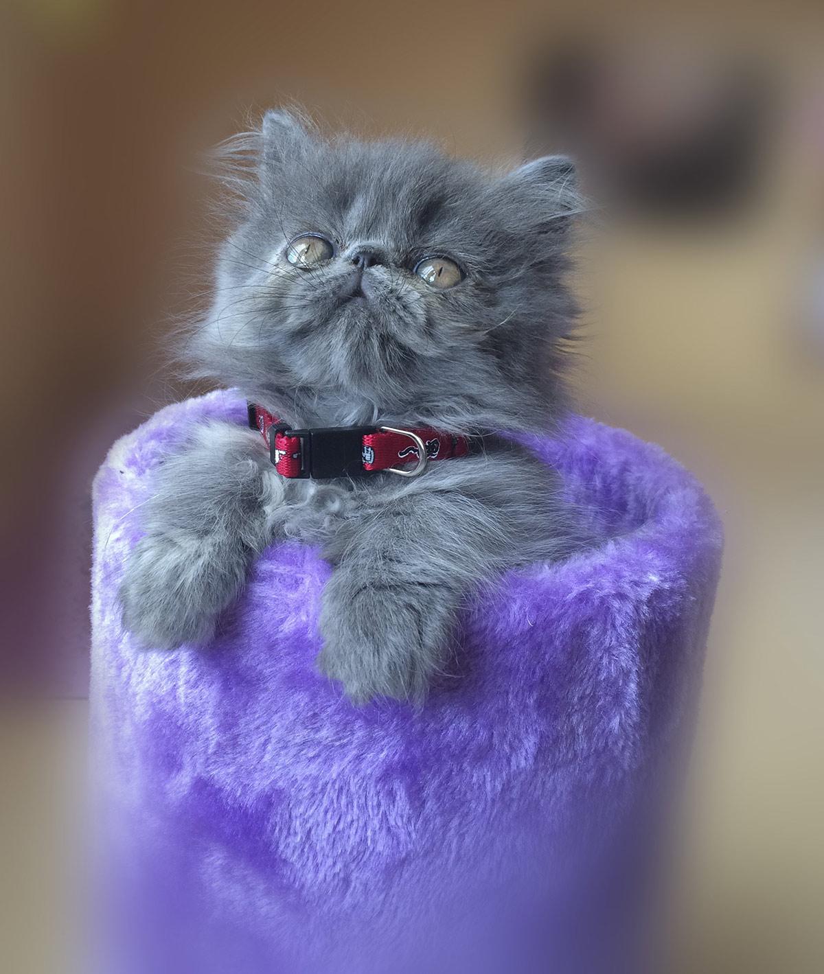 flat faced kittens - brachycephalic cats