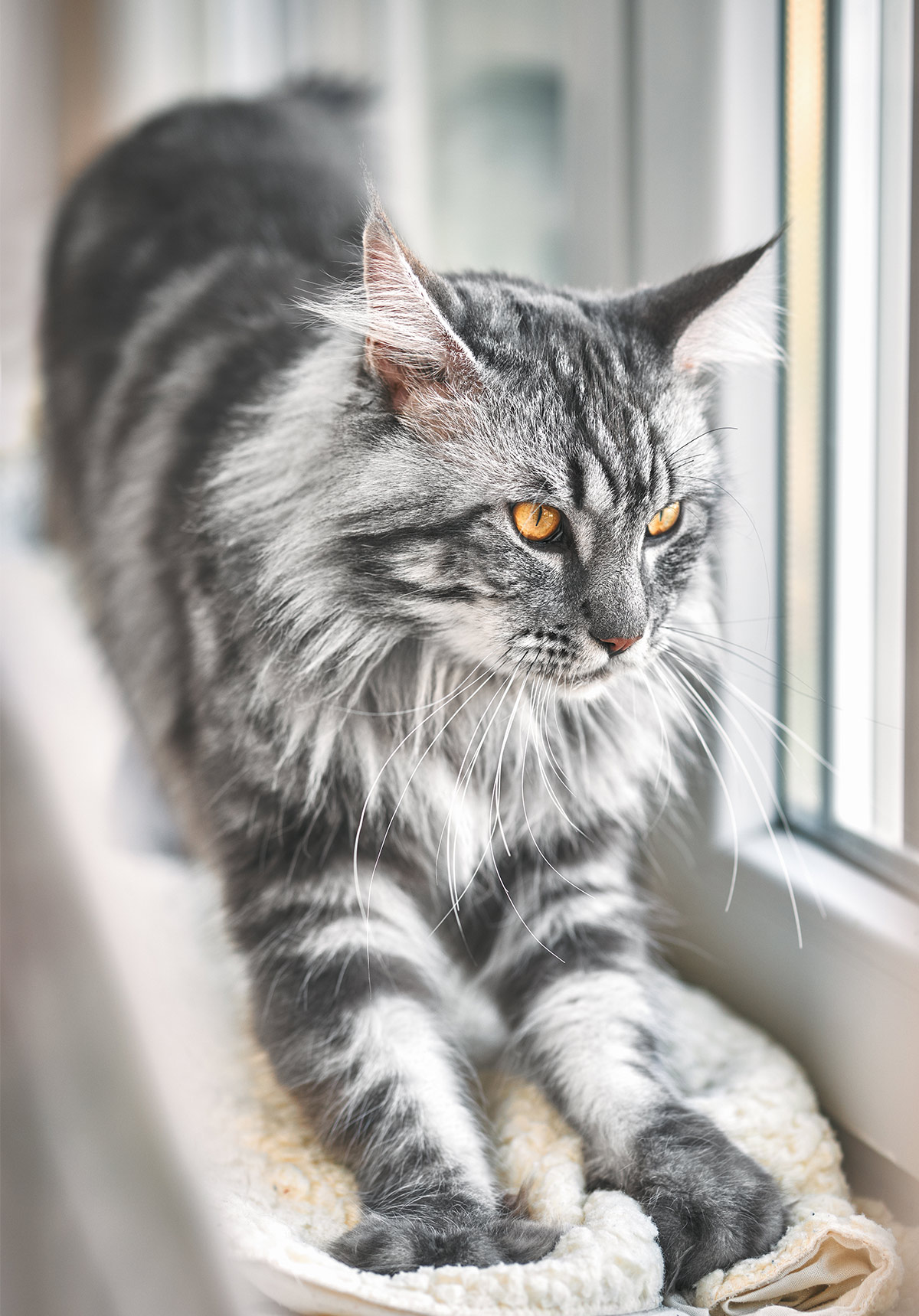 maine coon cat show
