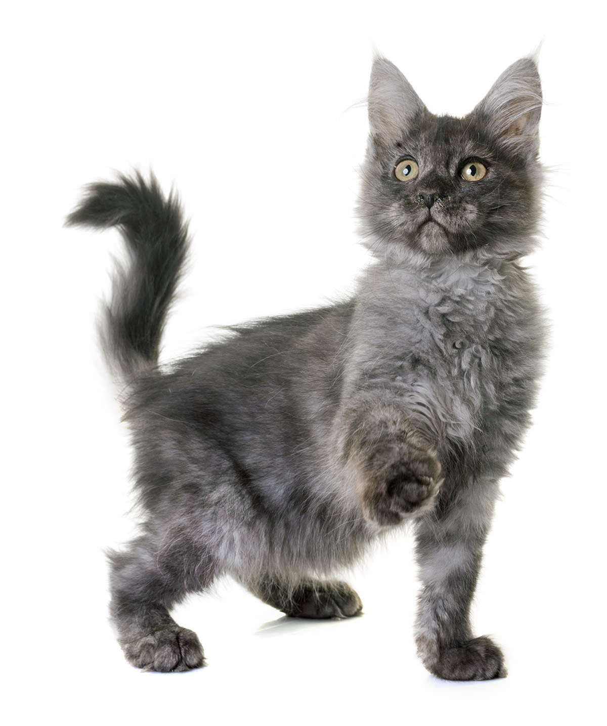 Gray Maine Coon photos