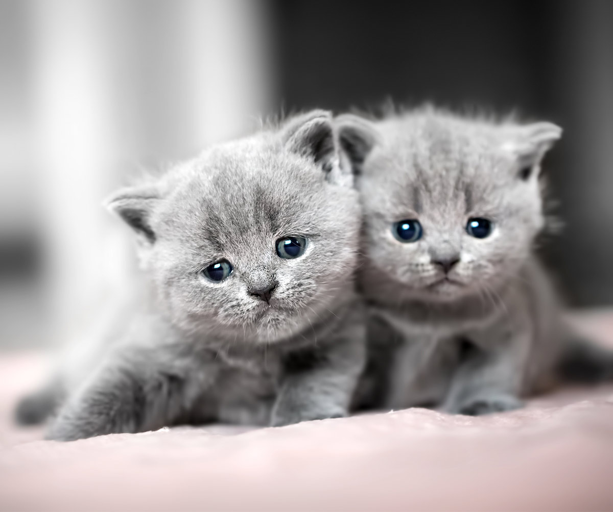 When do British Shorthair cats stop growing?