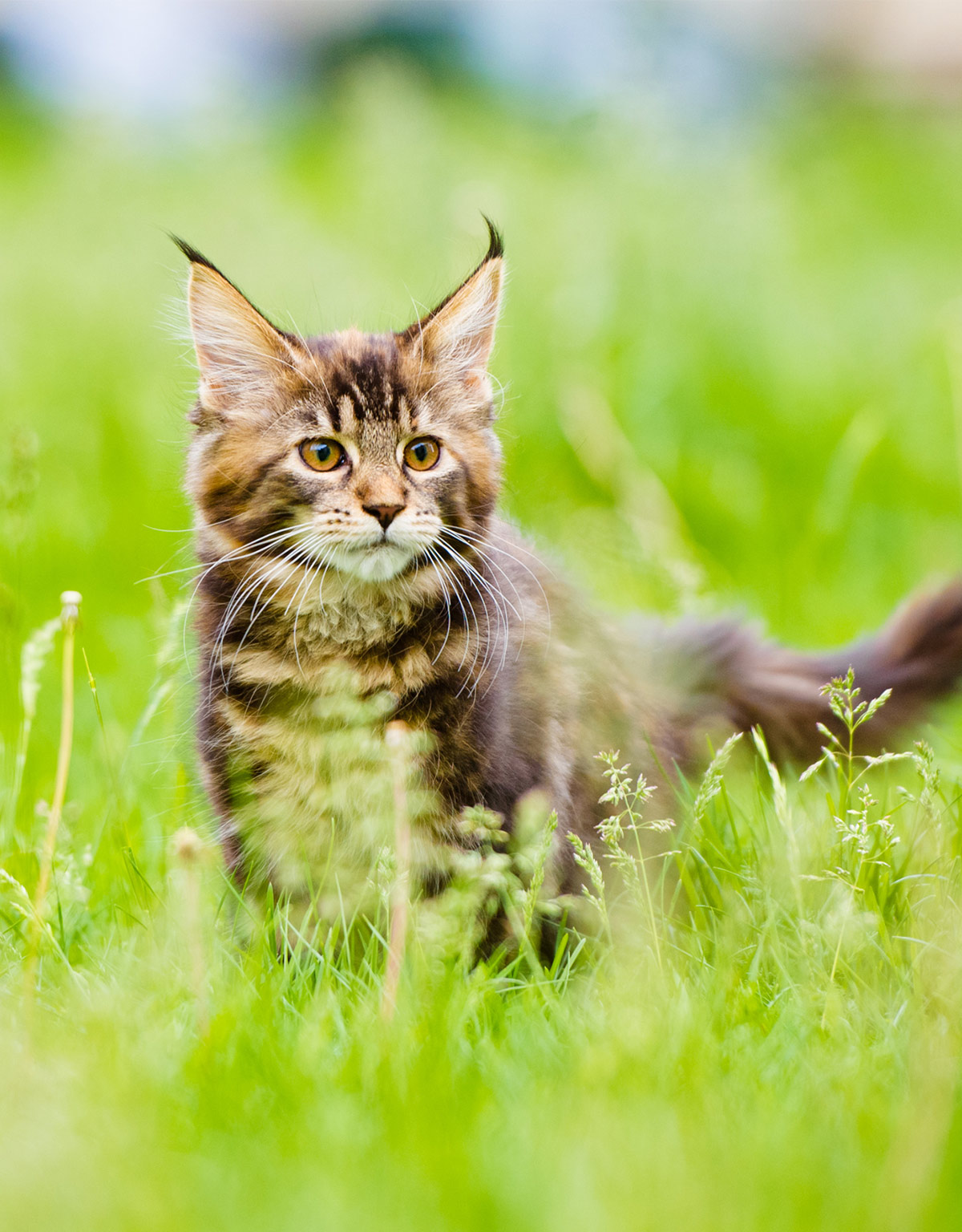 When do Maine Coon cats stop growing?