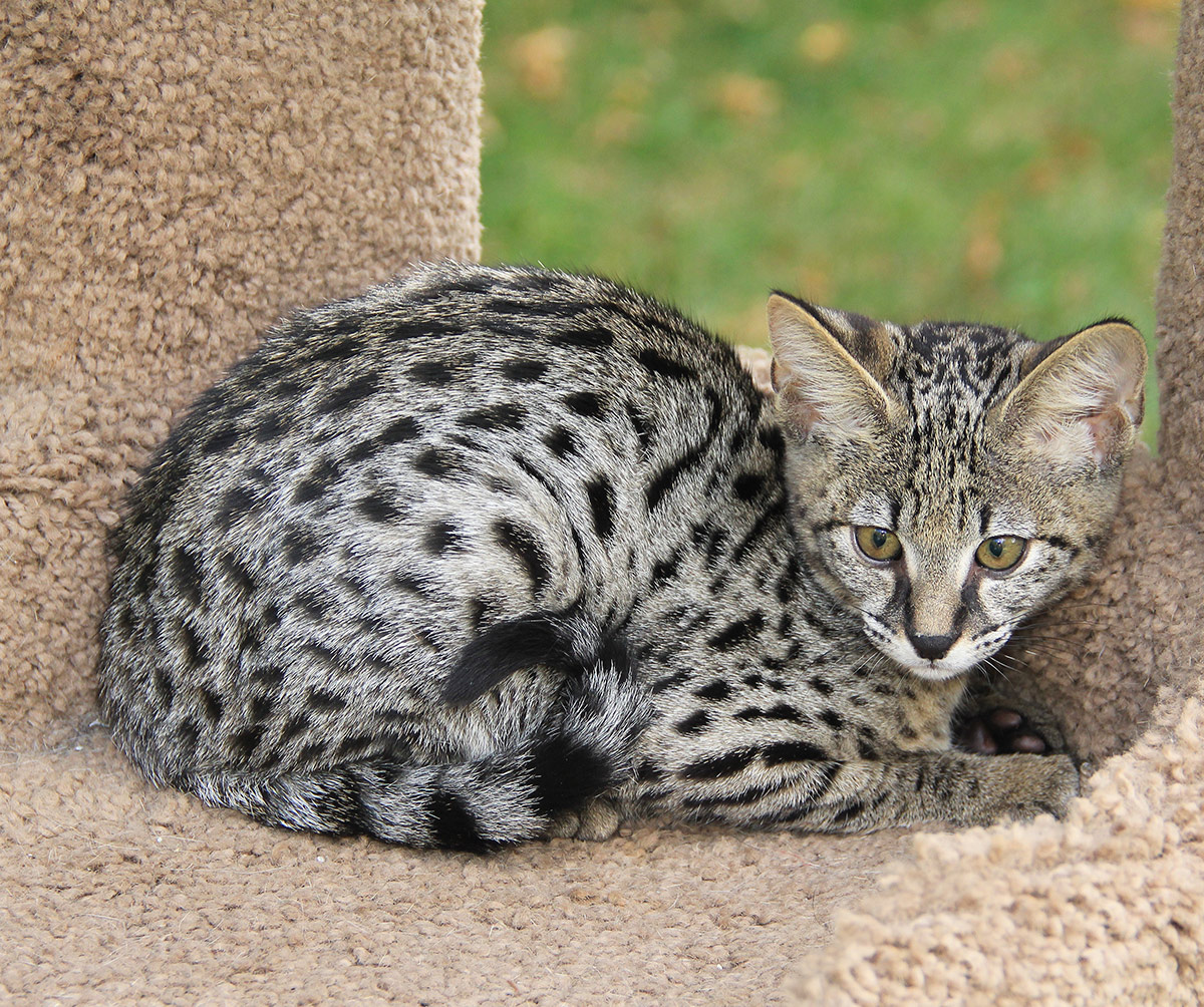 When do Savannah cats stop growing?