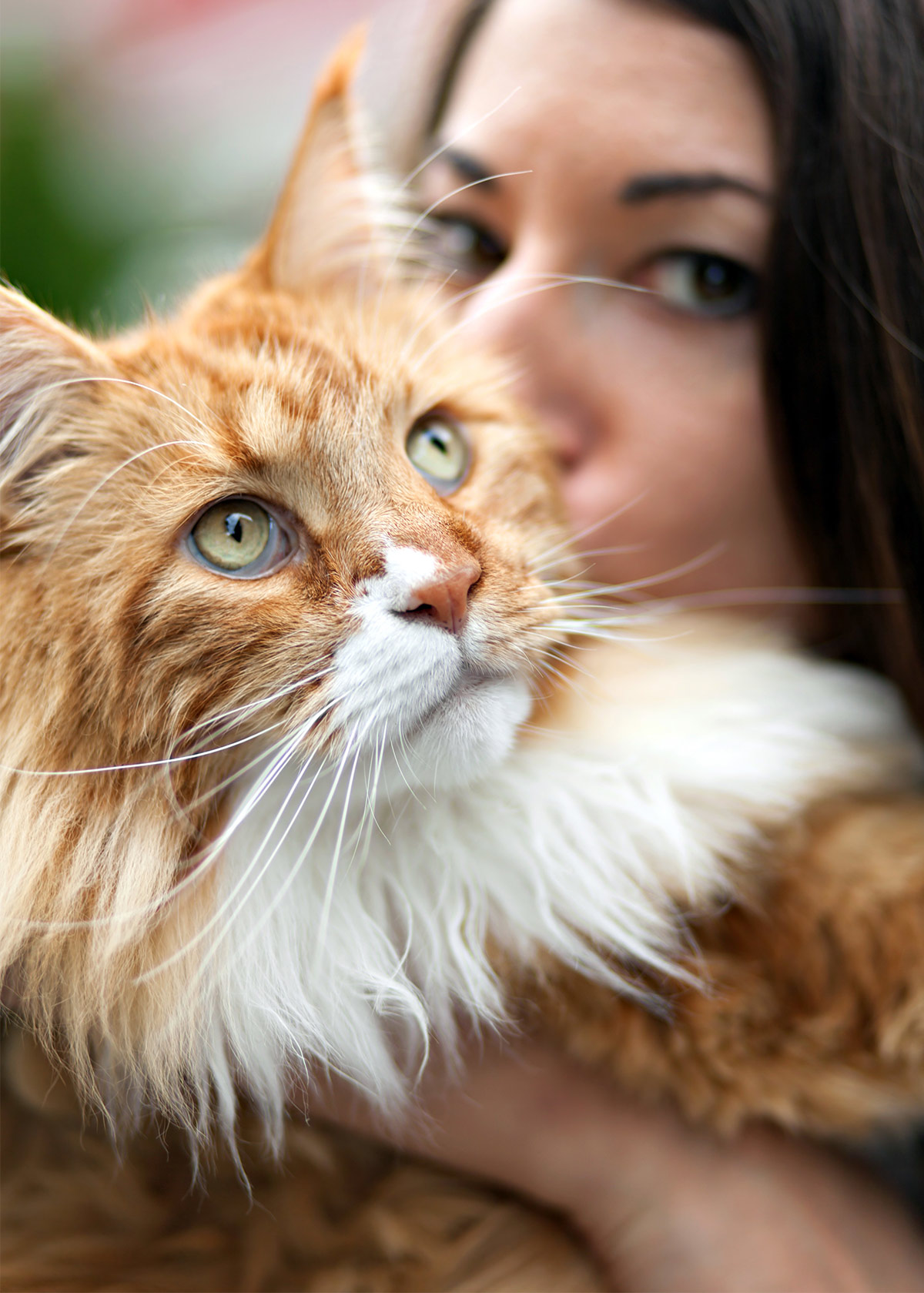 Pictures of large Maine coon cats
