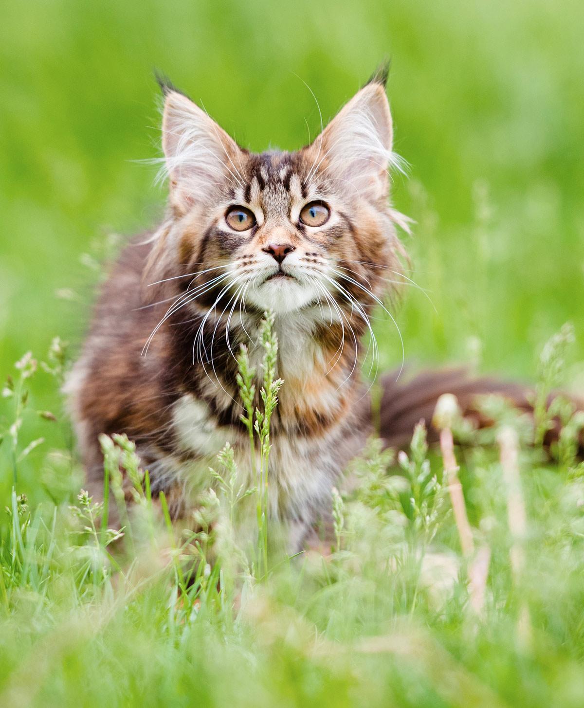 Maine Coon Kitten photos