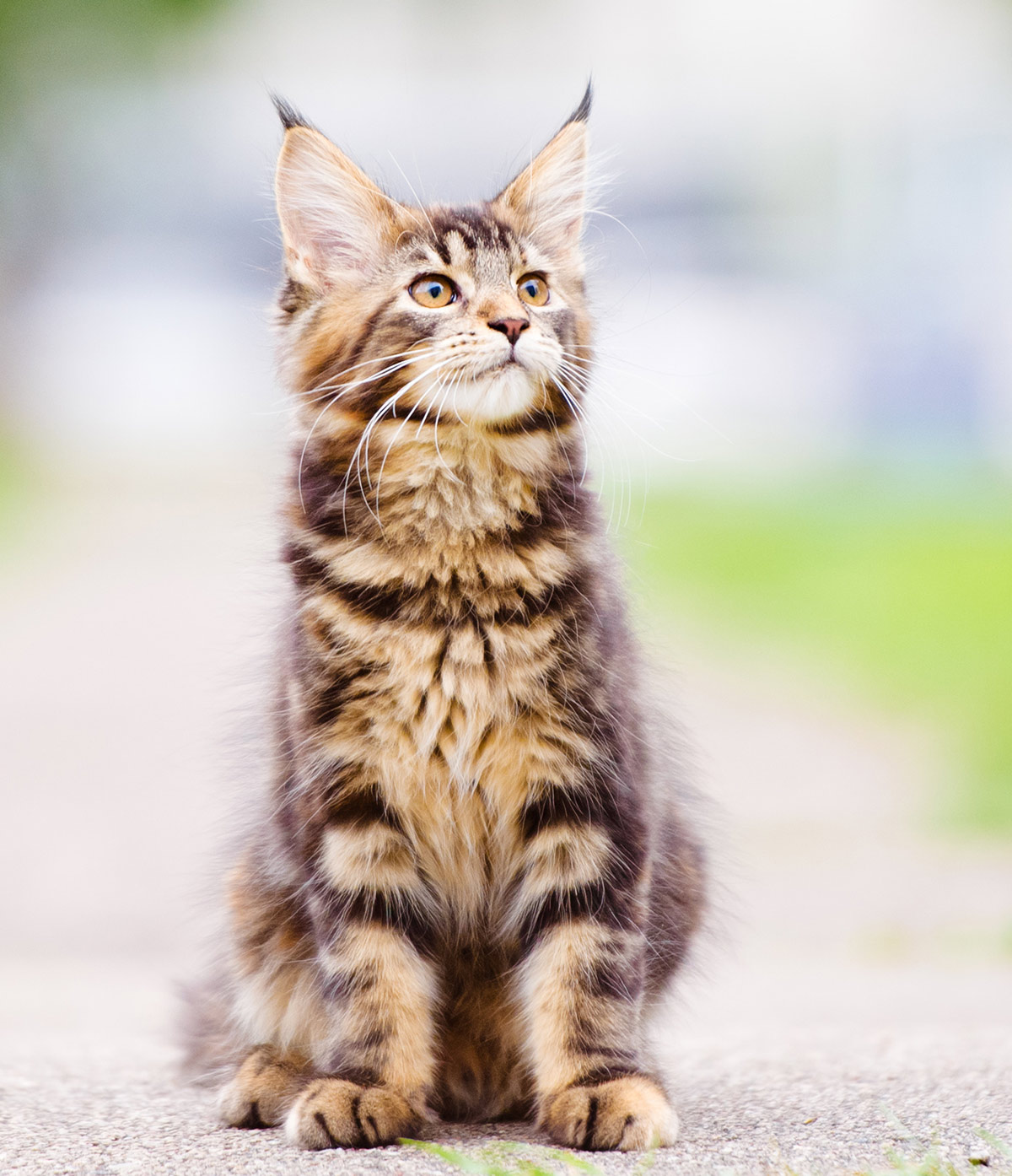 Maine Coon kitten pictures