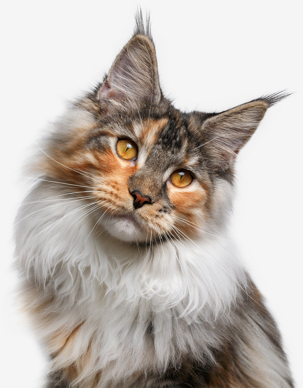 Check Out Our Beautiful Gallery Of Pictures Of Maine Coon Cats