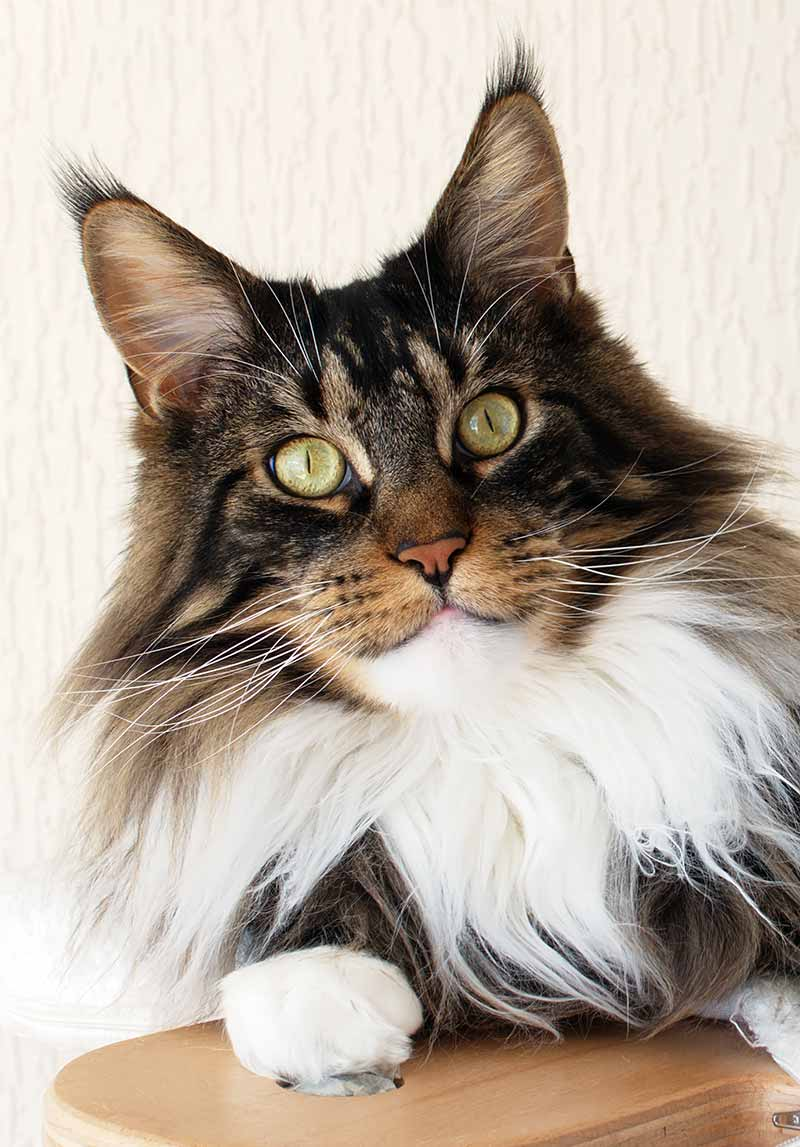 Maine Coon Vs Norwegian Forest Cat – Size Comparison And