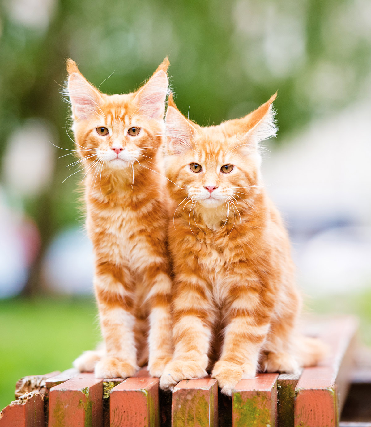 Orange pictures of Maine Coon cats
