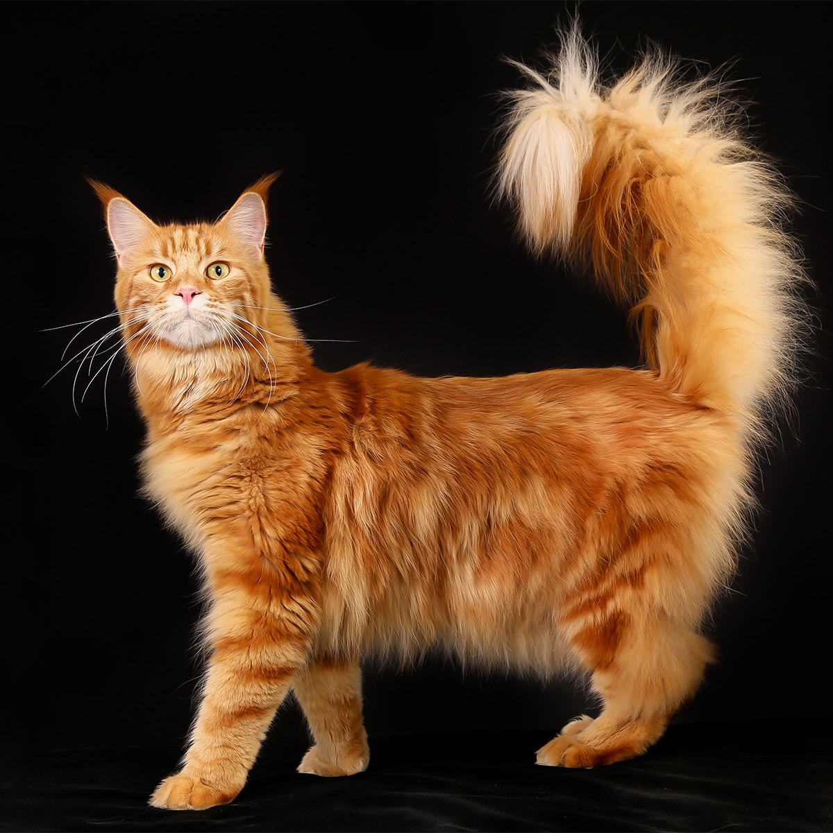 red Maine Coon cat pictures