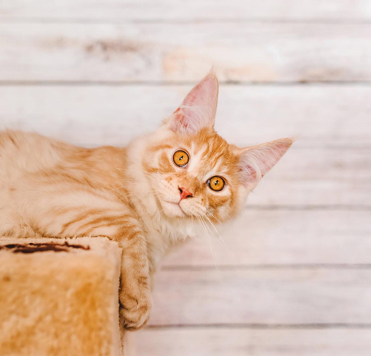 Orange Maine Coon cat pictures