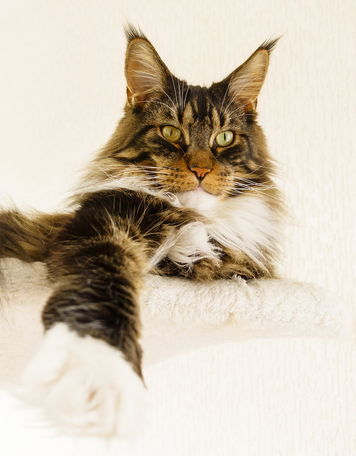 Pictures of Maine Coon Cats paws