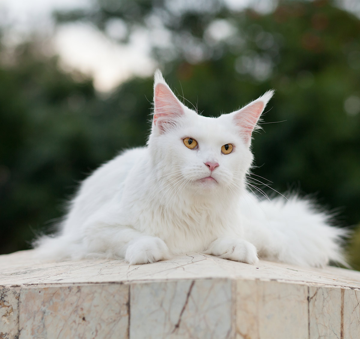 White Maine Coon cat photos