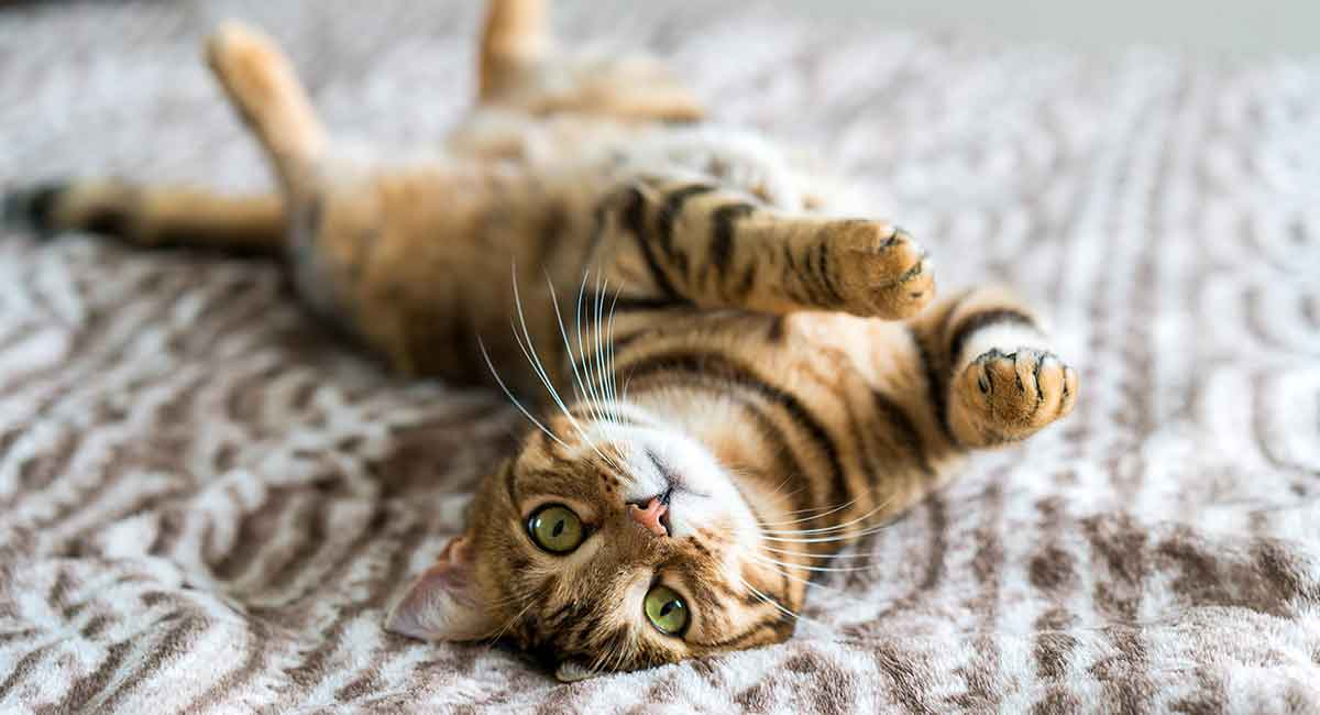 Bengal Cat Names 200 Ideas For Naming Your Male Or Female