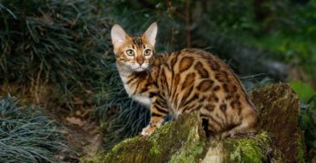 cat that look like leopards
