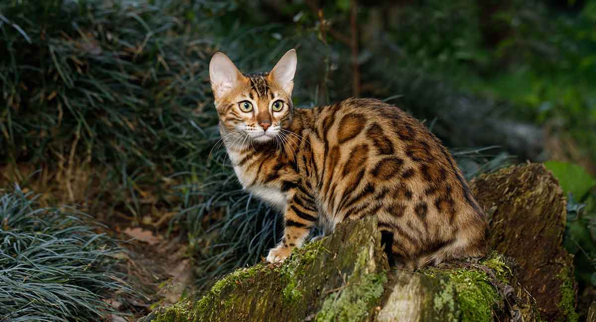 Cats That Look Like Leopards - Domestic Breeds That Look