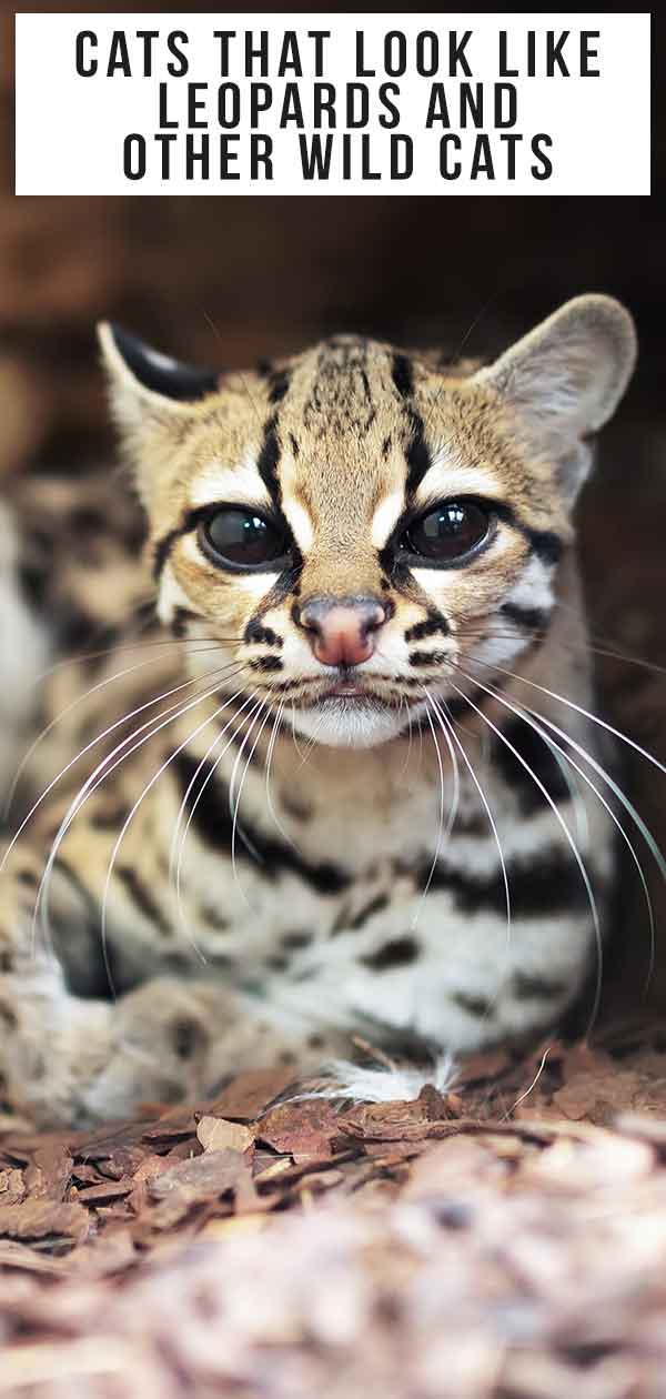 Cats that look like leopards