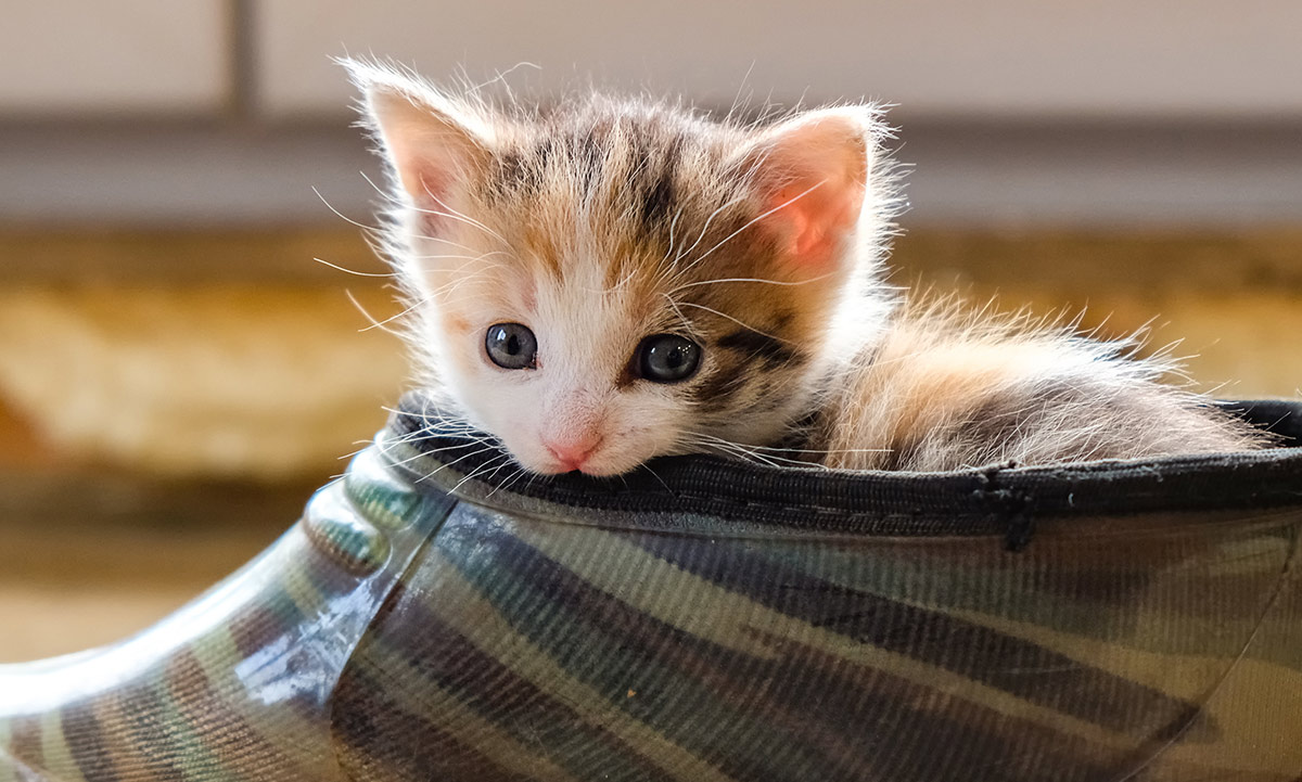 Amoxicillin For Cats - How It Works, Dosage And Side Effects