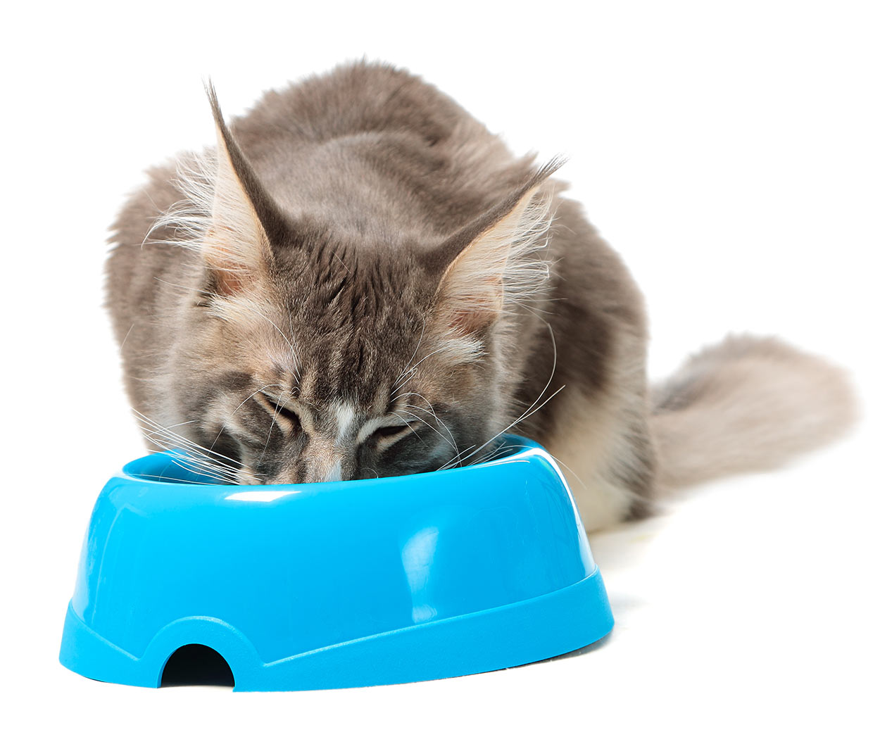 best cat food for maine coon cats