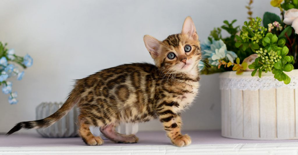 Cats That Look Like Leopards And Other Wild Breeds