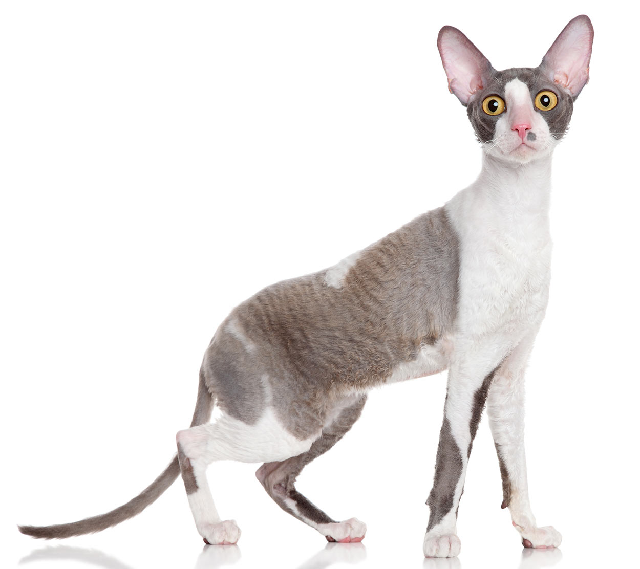 worlds smallest cat - cornish rex