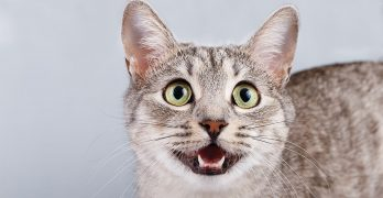 Heavy Breathing Cat – Why Is My Cat Panting?