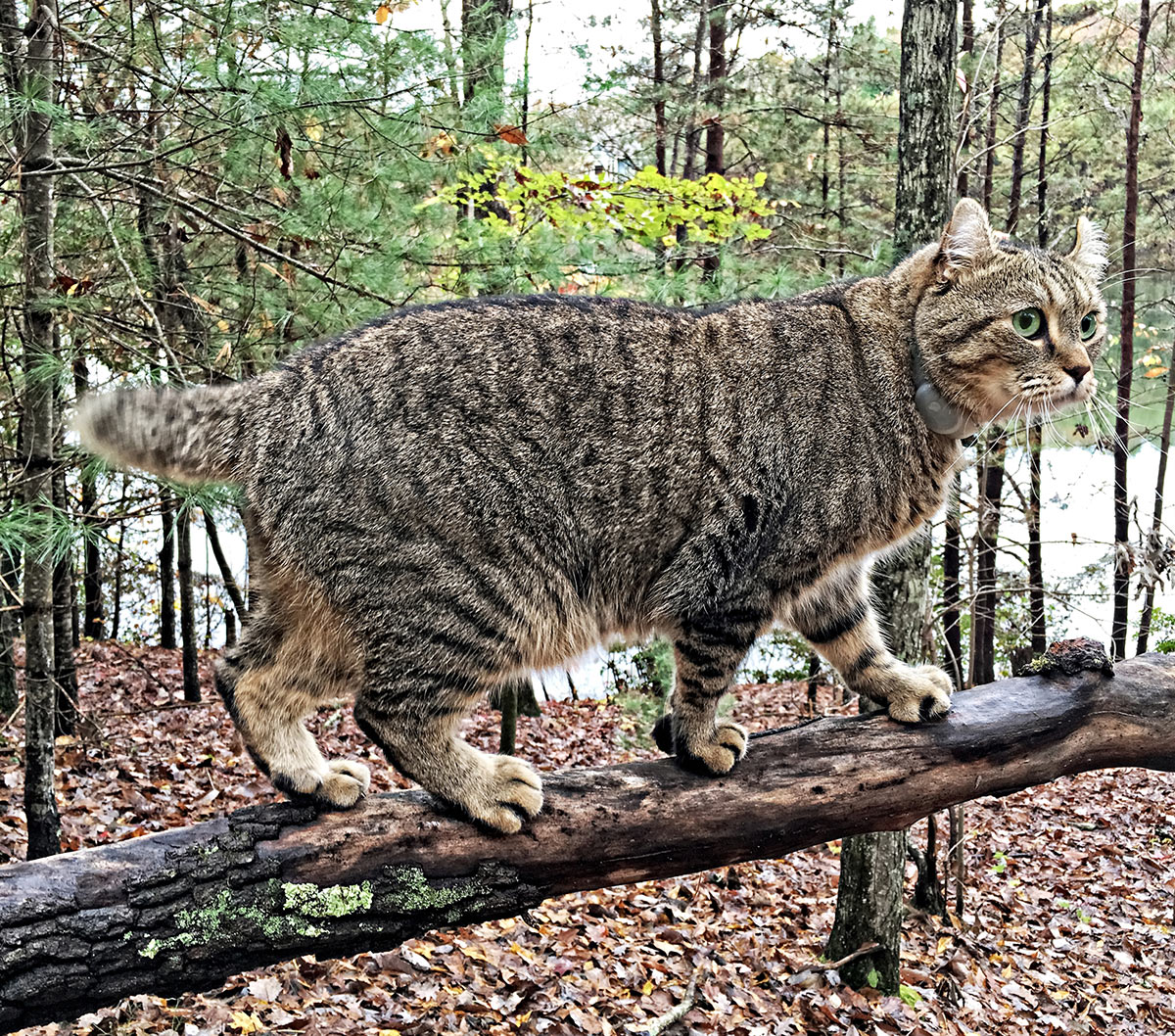 Highland Lynx A Guide To The Amazing Pet Wildcat