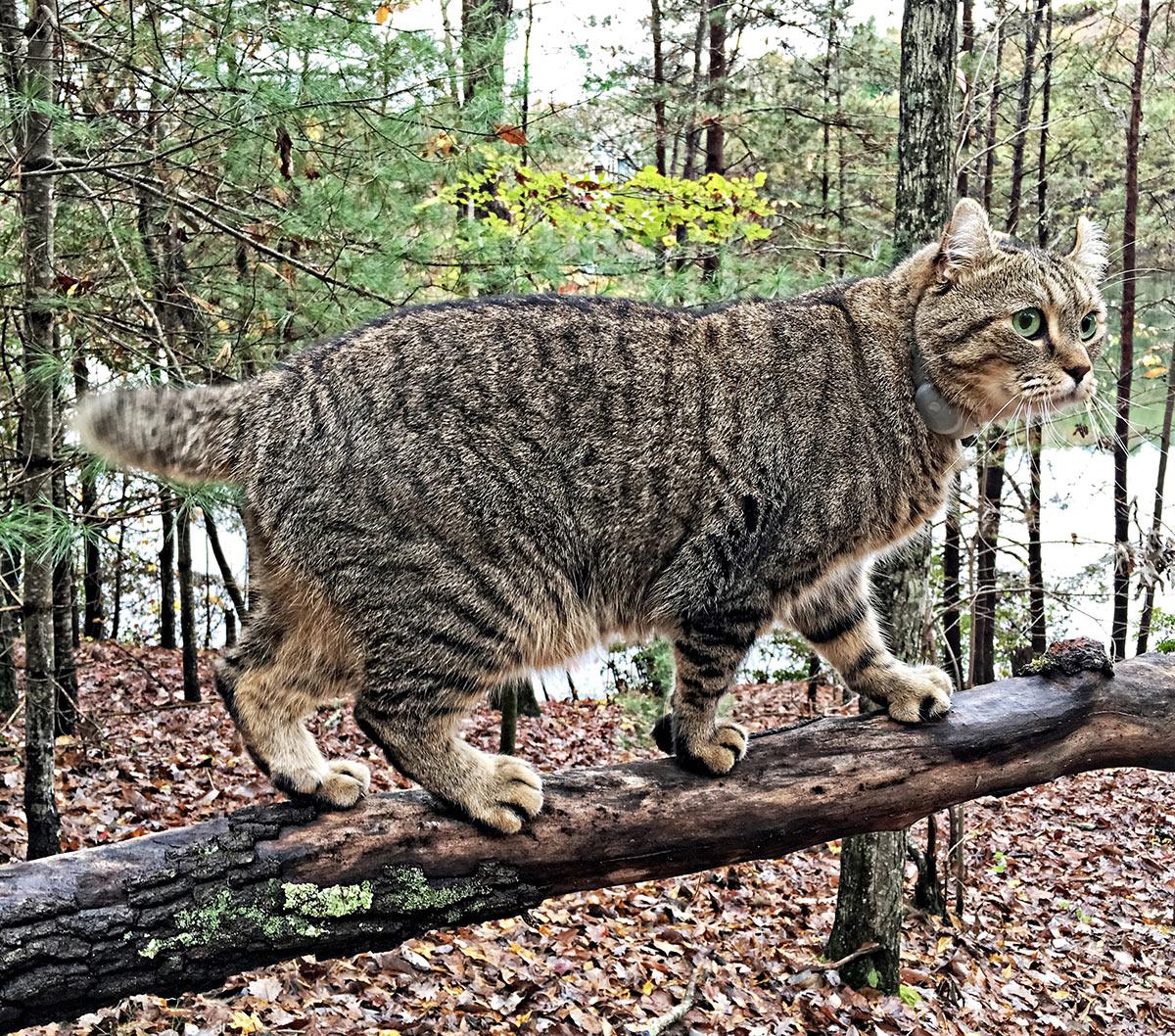 highland lynx