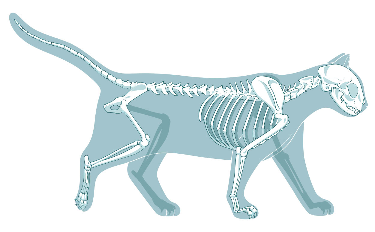 How Many Bones Are In A Cat Skeleton - And Other Fascinating Facts