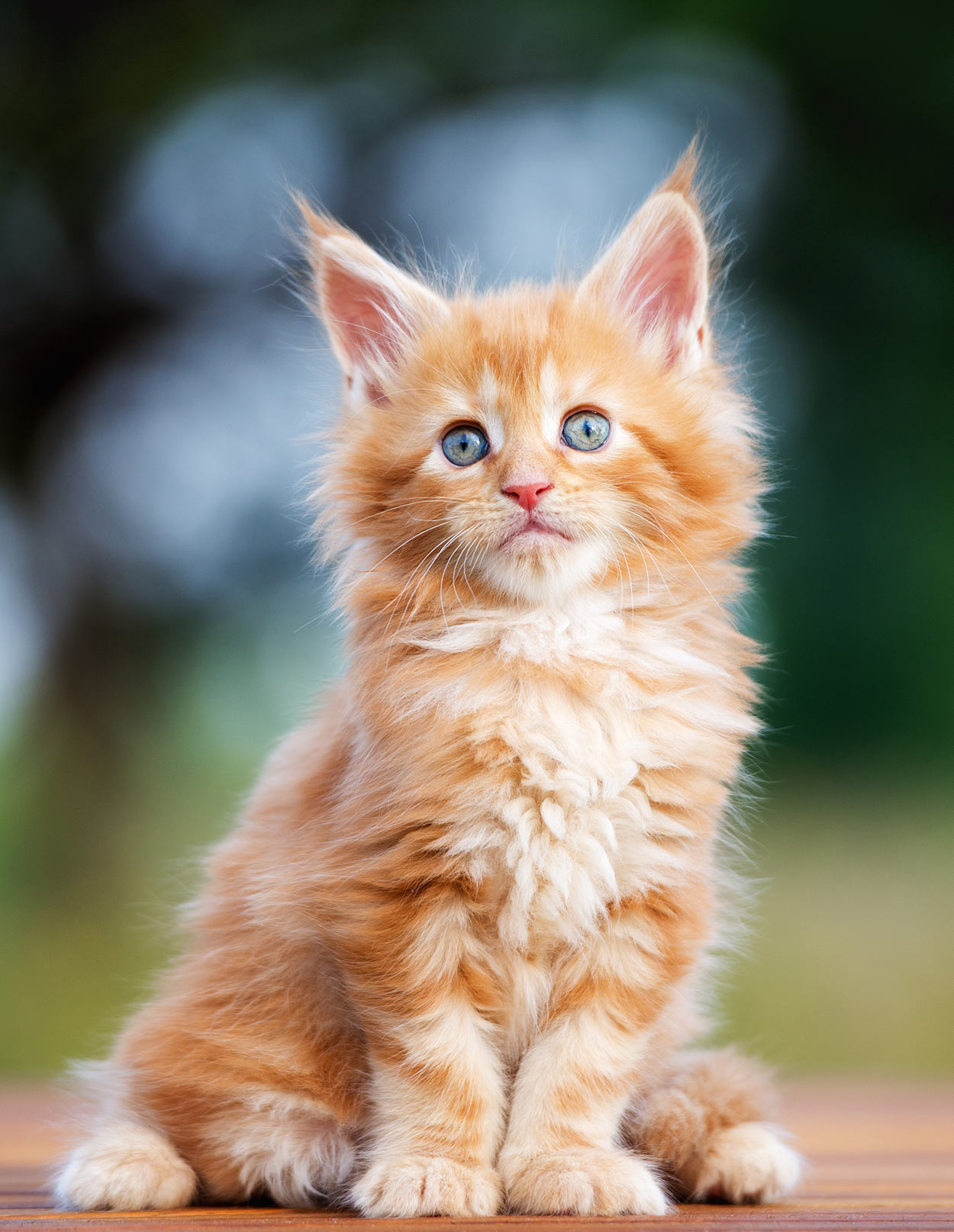 maine coon cat names over 200 brilliant ideas for naming. Black Bedroom Furniture Sets. Home Design Ideas